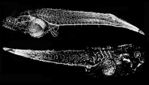 frog-embryos-thiabendazole-72dpi