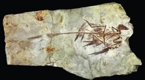 02microraptor-fossil2-sm