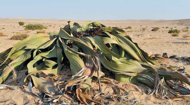 forty acres field guide welwitschia the alcalde. Black Bedroom Furniture Sets. Home Design Ideas