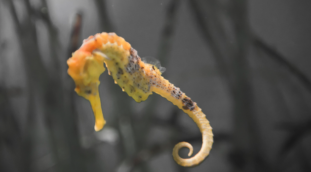 Small But Mighty: UT Researchers Discover Seahorse's Secret Weapon