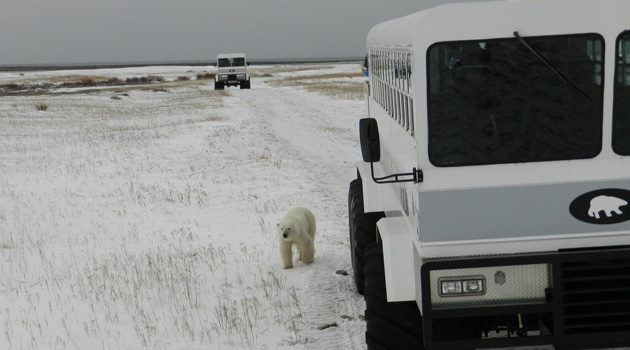 Polar Bear Travel 1