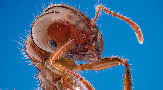 "Portrait of a red imported fire ant, Solenopsis invicta. This species arrived to the southeastern United States from South America in the 1930s. Specimen from Brackenridge Field Laboratory, Austin, Texas, USA. Public domain image by Alex Wild, produced by the University of Texas ""Insects Unlocked"" program."